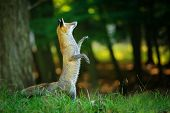 Red fox standing on hind legs in forest like in fairy tail and looking up poster