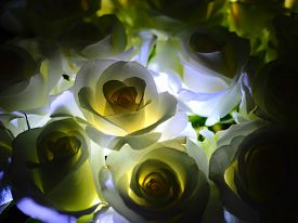 White Roses backlit