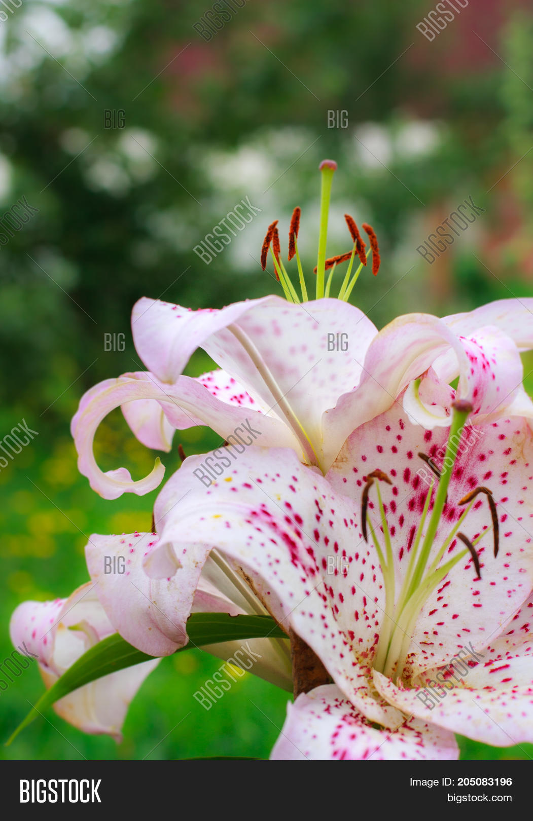 White Pink Lily Flower Image Photo Free Trial Bigstock