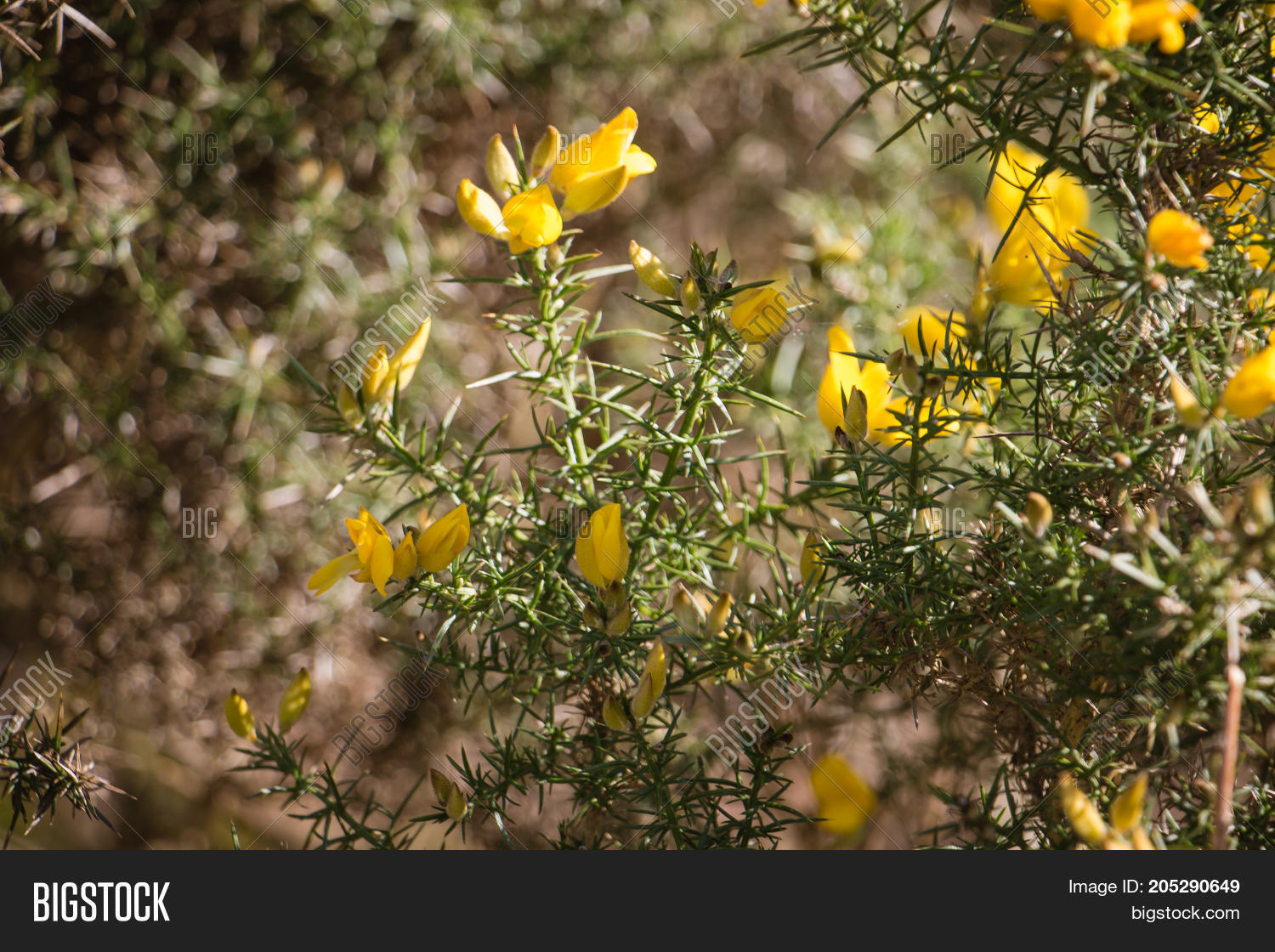 Flowering common gorse ulex image photo bigstock flowering common gorse ulex europaeus a spiky thorn covered plant with bright yellow mightylinksfo Gallery