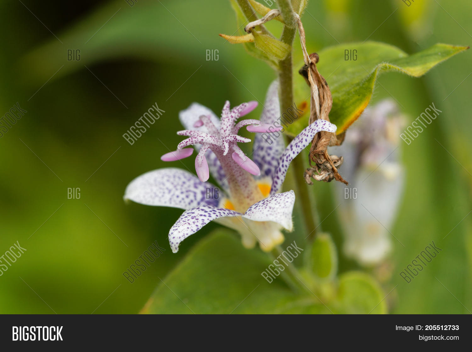 Toad lily flower image photo free trial bigstock toad lily flower tricyrtis hirta izmirmasajfo