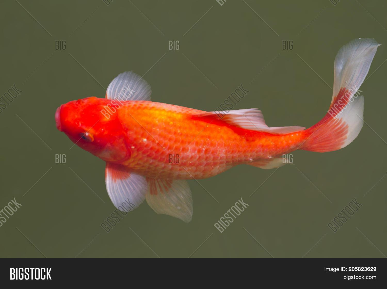 Goldfish Freshwater Pond , Fish Image & Photo | Bigstock