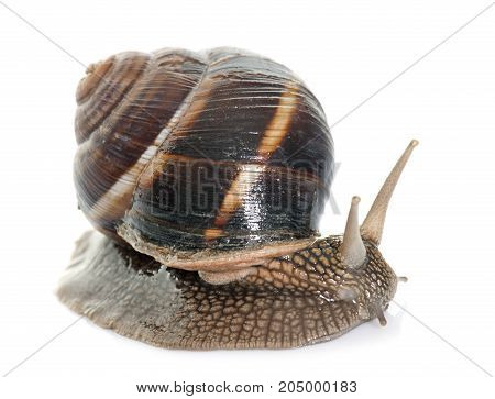 Bourgogne snail in front of white background
