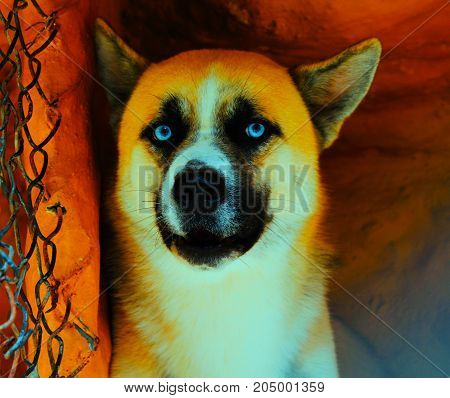 BEAUTIFUL YELLOW DOG WHIT BLUE EYES, AMAZING PET