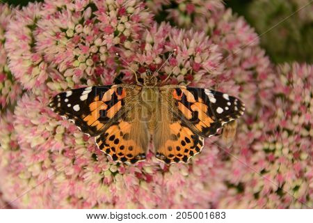 An American Painted Lady (Vanessa virginiensis), shown from above with wings outspread, gathering nectar from a sedum plant in Taneytown, Carroll County, Maryland, USA.