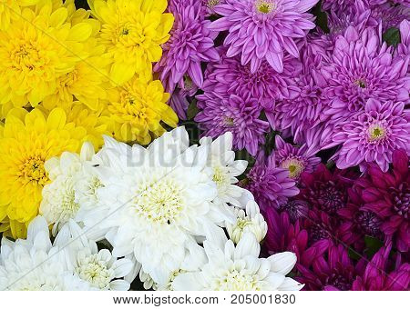 Chrysanthemum flowers as a background close up.Pink,purple,yellow and white chrysanthemums in the garden.Floral background.Selective focus.