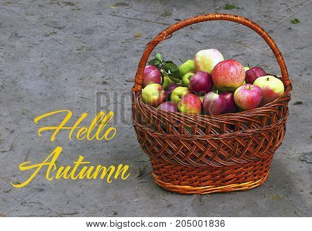 Hello Autumn.Fresh ripe organic apples in a basket.Harvest time,Seasonal fruit gathering, fall in apple garden,agriculture and farming concept.Selective focus.