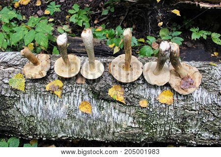 The group of mushrooms (birch bolete) is laid out in one row on the trunk of a fallen birch.