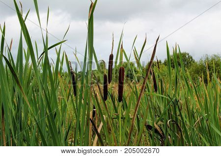 Long narrow leaves of reeds grow in the swamp.