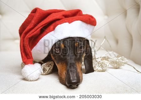 close up adorable and sad dog (puppy) dachshund black and tan wearing Santa hat and wrapped in a New Year's garland ready for Christmas in a white armchair. toned