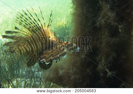 Fish lionfish at the sandy bottom. Pterois volitans