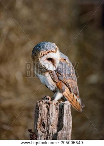 Barn Owl (tyto Alba) Perched On Wooden Post Looking Aside.