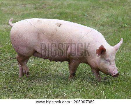 Photo of young piglet enjoying sunshine on green grass near the farm