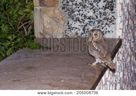 Owl with large eyes in profile sits on the porch