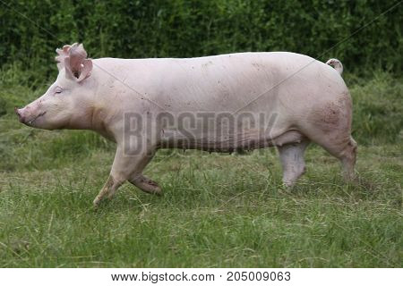 Little pink growing piglet canter on rural pig farm on pasture