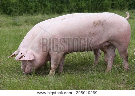 Two young domestic pig grazing on meadow summer time