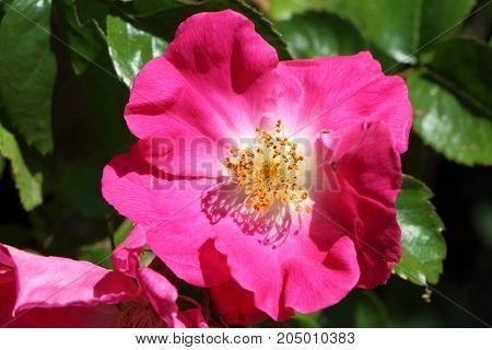 Close-up of pink flower of dog rose