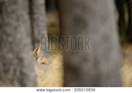 Hidden wolf cub head between trees and yellow grass in wild outdoor nature