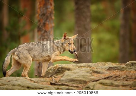 Wolf cub walking in forest on the rock with bark in his mouth