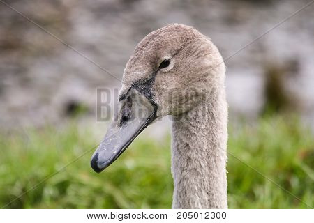 A beautiful juvenile mute swan cygnet with grey beak