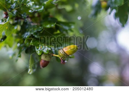 Close up view of acorns on an oak tree branch in a wet morning