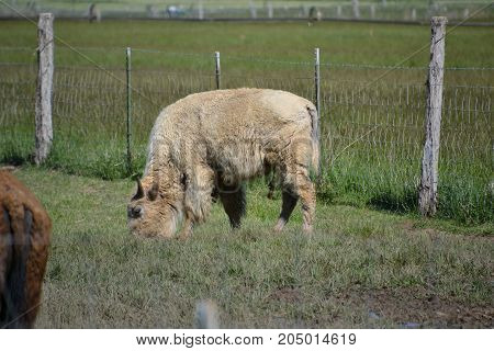 rare white bison / buffalo are considered sacred by native americans
