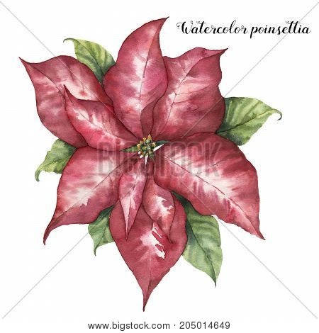 Watercolor pink poinsettia. Hand painted Christmas flower with leaves isolated on white background. Botanical illustration. Holiday print for design