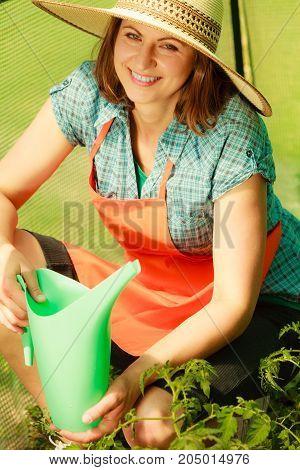 Gardening. Woman working in garden watering seedling tomato plants in greenhouse