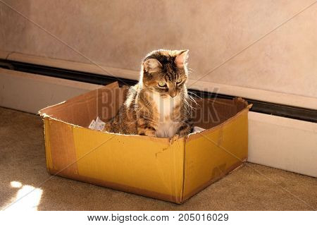 Cute little older cat with a kitten's personality playing in a cardboard box.