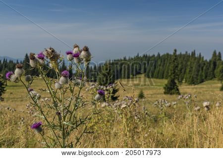 Thistle under Velky Choc hill in north Slovakia in summer sunny day