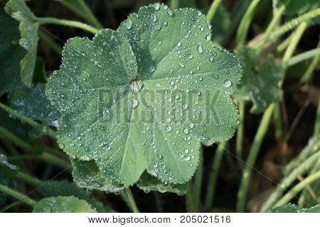 Morning dew forms droplets on a green leaf