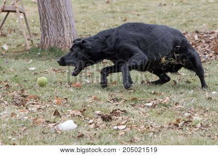 Black Labrador retriever fetches ball in the park