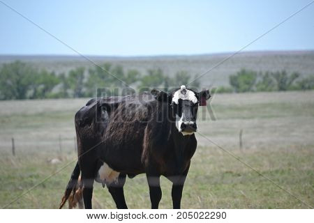 a cow seemingly posing for a picture