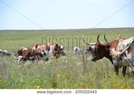 herd of longhorn cattle roam free in Wichita mountain wildlife refuge