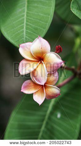 Beautiful Flower name - Plumeria with closeup shot