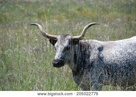 a herd of longhorn cattle roam free in Wichita Mountain wildlife refuge, oklahoma