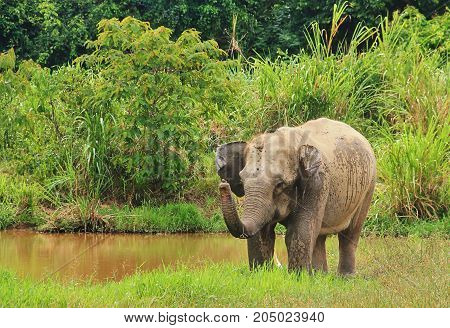 Wild Asian elephant is standing near the pool. Wild elephant at Kui Buri National Park, Thailand.