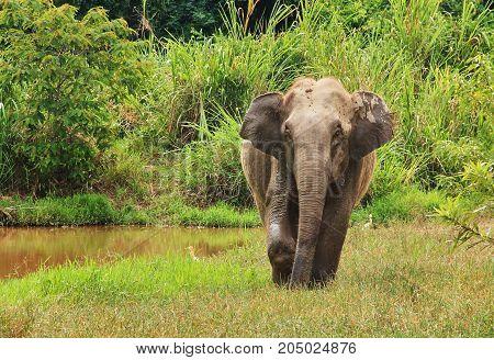 Wild Asian elephant is standing near the pool. Wild elephant at Kui Buri National Park, Thailand.