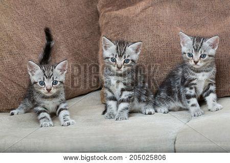 three kitten brothers on a sofa - stock image