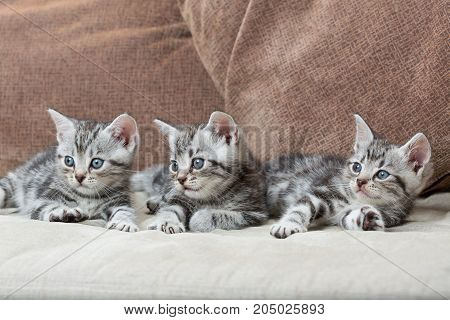 three kitten brothers sofa - stock image