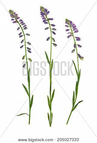 Pressed and dried flower common milkwort (Polygala vulgaris) isolated on white background. For use in scrapbooking floristry or herbarium.