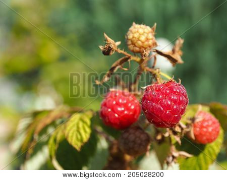 Close up of an autumn raspberry on a sunny day