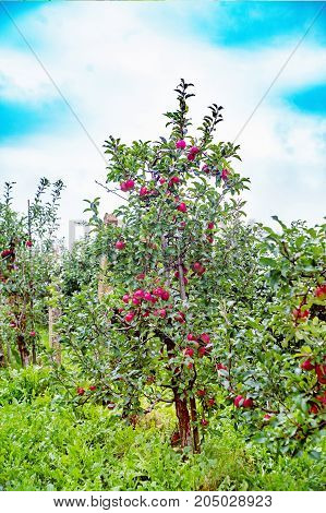 Gloster apple tree with apples after rain. A known German variety widely cultivated in Poland and harvested in late October. The apples are large cone-shaped ribbed and green with a large dark red blush.