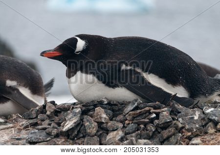 Nesting Gentoo Penguins struggling for survival at Cuverville Island, off the Coast of the Antarctic Peninsula.