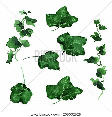 Hand drawing watercolor green Ivy leaves ornament