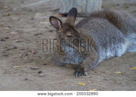 Young Kangaroo In Park