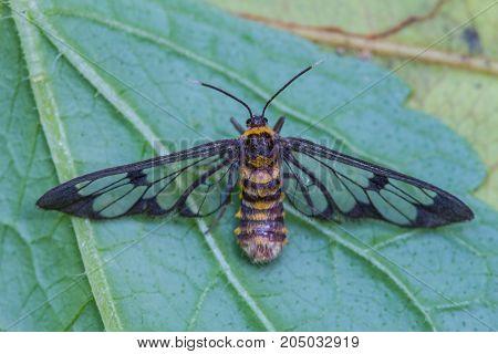 Tiger Grass Borer Moth On A Leaf