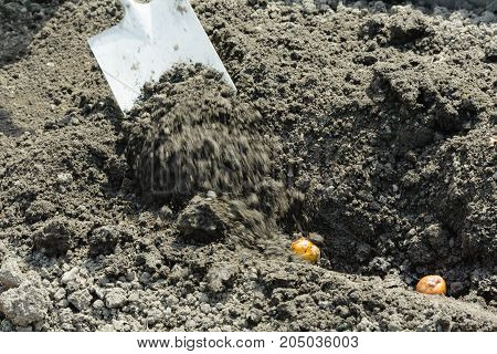 Farmer is digging a seed potato with a shovel. Motion blur in the shovel work area