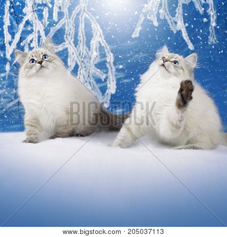 Siberian two kitten on winter nature in snowy forest