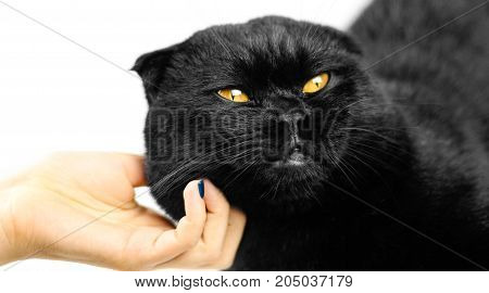 Female Hand Stroking Serious Black Cat With Yellow Eyes In Dark. Face Black Scottish Fold Cat With G